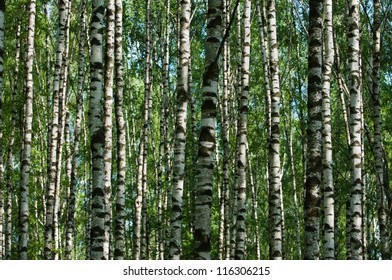 Abstract  background of nice, white, birch trunks