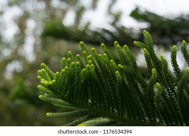 Abstract background of Norfolk Island Pine (Araucaria heterophylla)