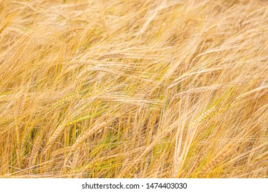 Abstract background turning into soft focus - grain agitated by the wind. Background with triticale ears.