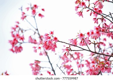 Abstract blur pink cherry blossom