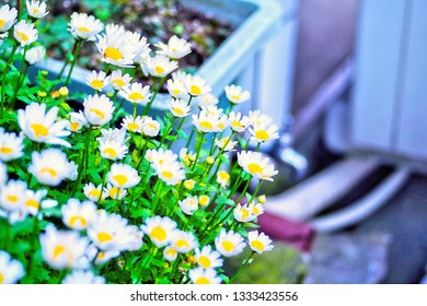 Abstract blur selective focus photo of Snowland oxeye daisy ,mini marguerite ,Creeping Daisies (Leucanthemum paludosum ,Chrysanthemum paludosum ,Mauranthemum paludosum) with copyspace for insert texts