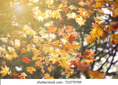 Abstract blur and soft autumn leave background  in Japan