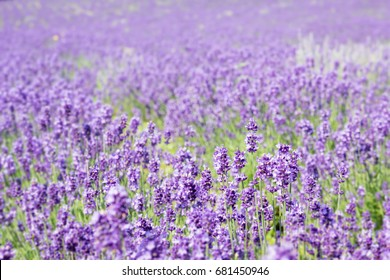 Abstract blur and soft of Lavender field in summer of Japan