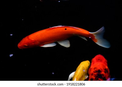 Abstract Blurred background of fancy Carp fish pond.