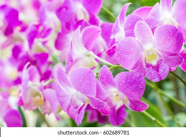 Abstract blurred background of purple orchids, Dendrobium, in soft color style, on green leaves blur background, in Thailand, macro.