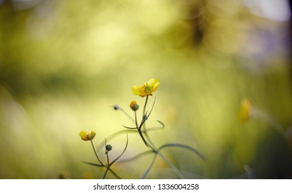 Abstract Blurred background with yellow wild flowers buttercups.