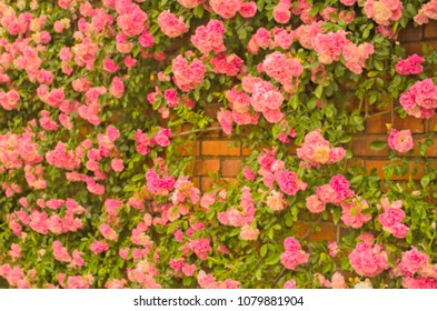 Abstract Blurry full blooming of Pretty Pale Pink Climbing Rose with red brick wall background. Beautiful Sweet blurred of Rambling Rose Flower pattern (Rosa Super Fairy, Mannington Mauve Rambler)
