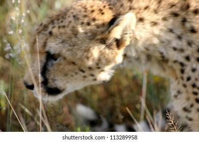 Abstract of cheetah in long grass, Namibia
