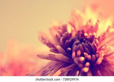 Abstract Chrysanthemum flower background with color filters for background