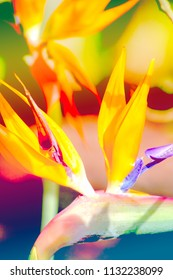 Abstract close up image of a Bird of Paradise flower (Strelitzia)