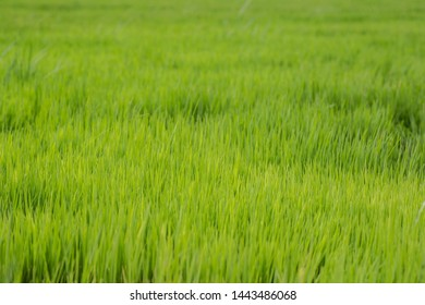 Abstract close up of a newly planted rice paddy at a late summer afternoon