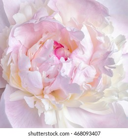 Abstract close up of pale pink peony flower. Macro photo with shallow depth of field. Natural background.