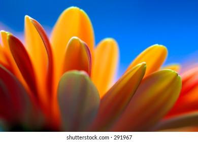Abstract close up shot of petals on an orange gerbera