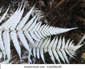 Abstract closeup of beautiful white silver ferns on dark background in forest, near Eastbourne Wellington New Zealand