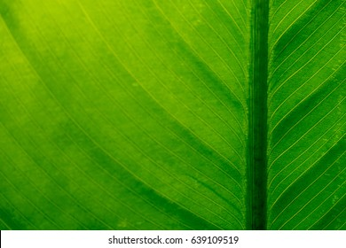Abstract closeup and blurry focus image of tree leaf showing line and curve. It can be used as backgrounds or texture.