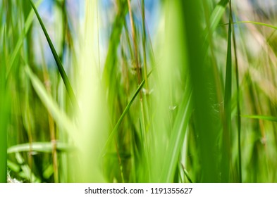 abstract closeup image of wild grass called Cogongrass (Imperata cylindrica) plant under bright sun