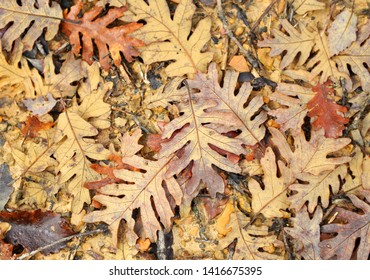 Abstract composition with oak leaves and mud. Autumn concept. Autumnal background