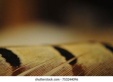 Abstract concept close up of pheasant's back wing feather with stripes on it. Beige black and brown colors. Texture background or wallpaper, place for text.