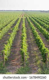 Abstract and conceptual vineyards in Sicily, aereal view. Traditional countryside and landscapes of beautiful Sicily. Rows Of Vineyard Grape Vines. Panorama of vineyards in Italy.