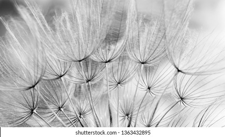 Abstract dandelion flower texture background. Dandelion seeds. Soft focus. Black and white.
