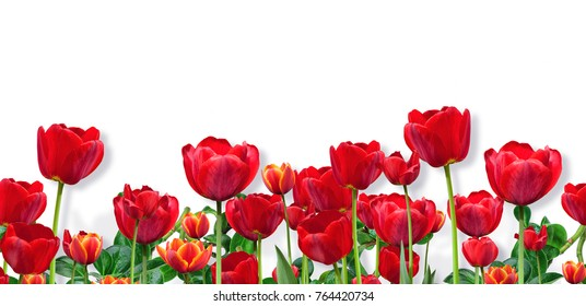Abstract design of wide panoramic floral border with red tulips