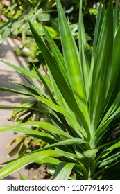 Abstract detail of Yucca leaves, exotic plant