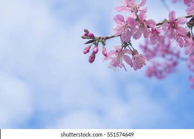 abstract dreamy and blurred image of spring white cherry blossoms tree. selective focu