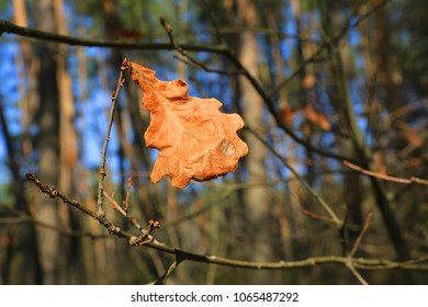Abstract dry oak leaf on branch