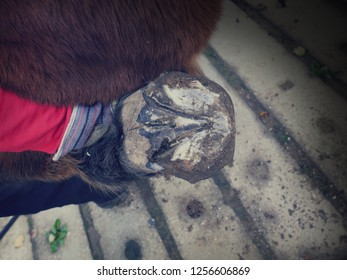 Abstract filter.  Vet examining horse hoof at barn. Cleaning horse hoof with pick
