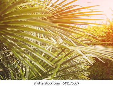 Abstract floral blurred background with palm leaves and sun rays, toned, blurred Palm Sunday Hosanna concept Holy Week