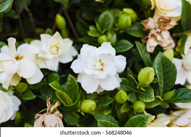 Gardenia images stock photos vectors shutterstock abstract flower background of white gardenia flowers mightylinksfo
