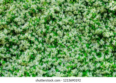 Abstract flower background with white jasmine