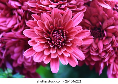 Abstract of flower dahlia for background, Abstract petals flower dahlia