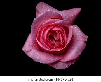 Abstract flower with pink rose on black background - Valentines, Mothers day, anniversary, condolence card.  Beautiful rose. close up roses . opal roses. drops on roses
