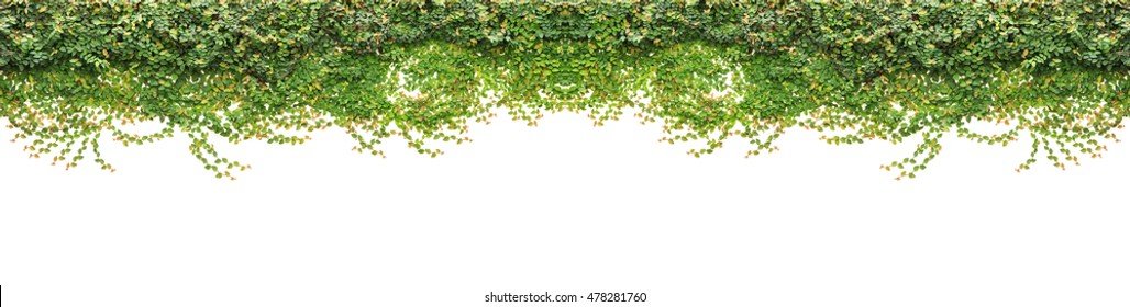 Abstract of fresh green ivy isolated on white background. Garden decoration