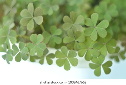 abstract green blur background of clover leaves, St. patrick's day