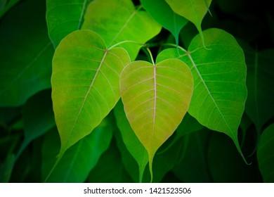 abstract green leaf texture, fresh green leaves, (bo leaf, bodhi leaf)