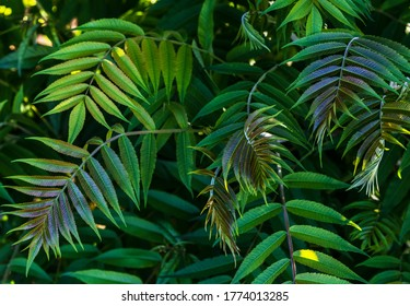 Abstract green leaf texture. Sumac foliage in summer.