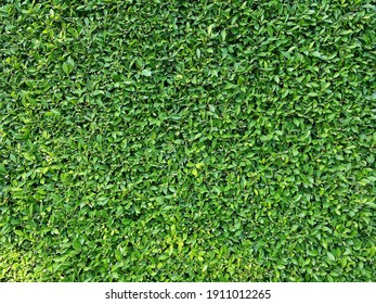 Abstract green leaves texture background. Beautiful green leaf background for design.Wall of tree for background.