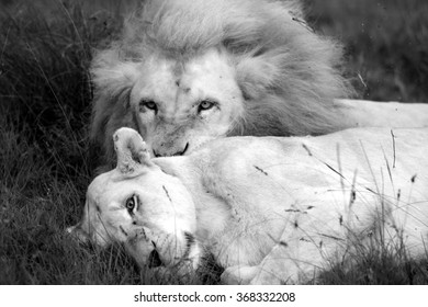 An abstract image of a male lion and a female lioness about to mate. South Africa