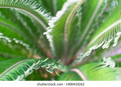 Abstract Japanese fern plant named Cycas revoluta - More commonly known as Sago Palm.