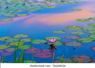 Abstract landscape of lotus pond at moning with sunrise at hatyai songkhla thailand . colorful of lotus pond