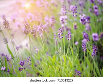 Abstract lavender for background