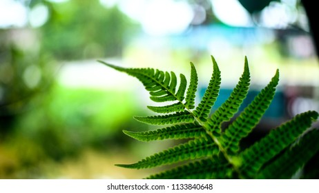 Abstract leaf of plants. boston fern. selective focus