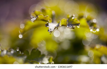 Abstract macro background with green leaves with dew drops.