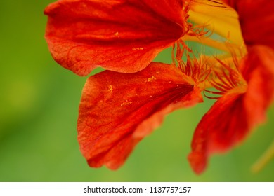Abstract macro of a deep red nasturtium flower against a green background