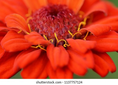 Abstract macro of a deep red zinnia flower with curly yellow stamens