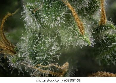 Abstract macro detail of cannabis bud (fire creek marijuana strain) with visible hairs and trichomes
