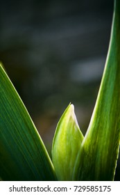 An abstract macro of an iris before blooming in spring.