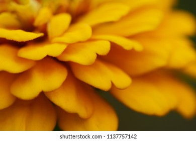 Abstract macro of layered petals of a yellow zinnia flower